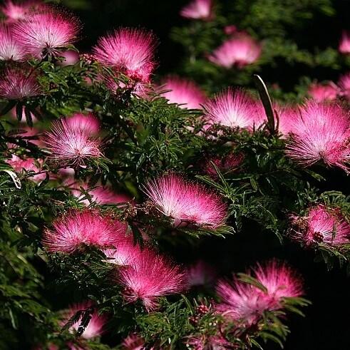 Pink Albizia Julibrissin Tree Seeds, Silk Tree Seeds, 20pcs/pack