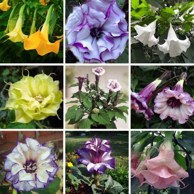 Multi-Color Angels Trumpet Seeds, Brugmansia Datura Seeds, 100pcs/pack
