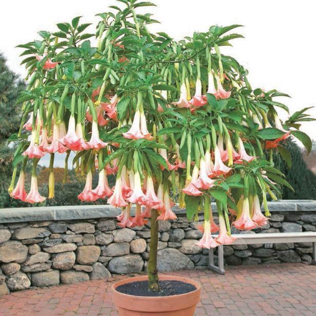 Brugmansia Datura Seeds, Angel's Trumpets Rare Flower Seeds, 100pcs/pack