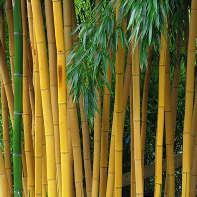 Golden Bamboo Seeds, 50pcs/pack
