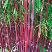 Red Moso Bamboo Seeds, 50pcs/pack