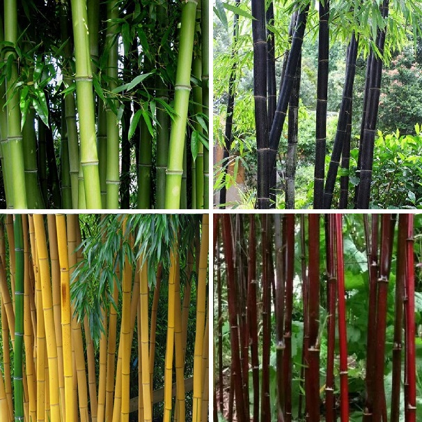 Multi-Varieties Bamboo Seeds, 50pcs/pack