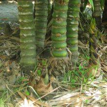 Rare Bamboo Seeds, Bambusa Ventricosa Bamboo, 20pcs/pack