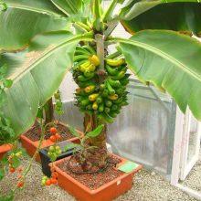 Sweet Banana Seeds, 200pcs/pack