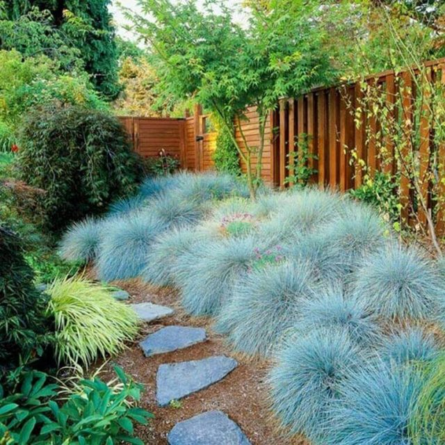 Rare Blue Fescue Grass Seeds, Festuca Glauca 100pcs/pack