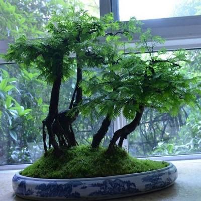 Bonsai Tree Seeds, Metasequoia Glyptostroboides, 50pcs/pack