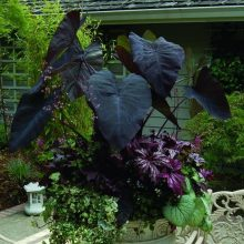 Big Leaf Palm Plants Seeds, Elephant Ear Plant, 10pcs/pack