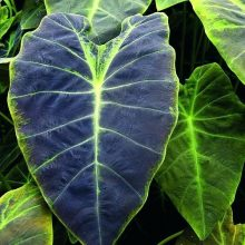 Big Leaf Palm Plants Seeds, Elephant Ear Plant, 10pcs/pack