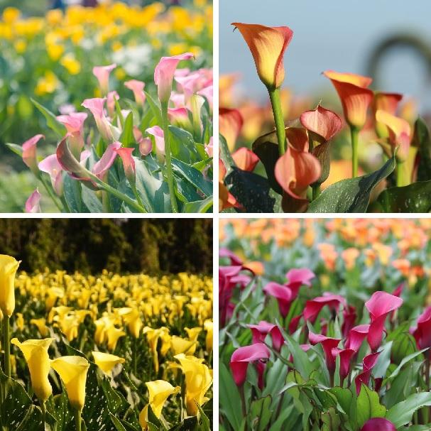 Multi Varieties Calla Lily Flower Seed 100pcs Pack