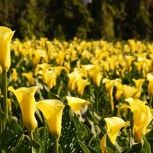 Rare Calla Lily Seeds, 100pcs/pack