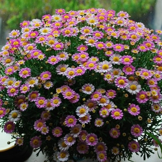 Multi-Color Ground-cover Chrysanthemum Seeds, 100pcs/pack