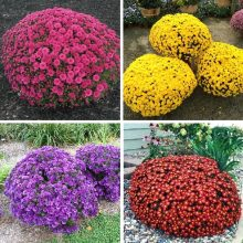 Chrysanthemum Seeds, Ground-cover Chrysanthemum Seeds, 100pcs/pack