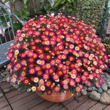 Chrysanthemum Seeds, Ground-cover Chrysanthemum Seeds, 100pcs/pack