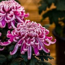Purple Chrysanthemum Flower Seeds , 100pcs/pack