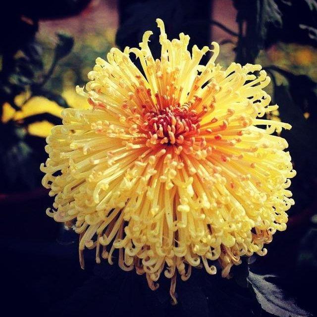 Mum Seeds, Rare Chrysanthemum Seeds, 100pcs/pack