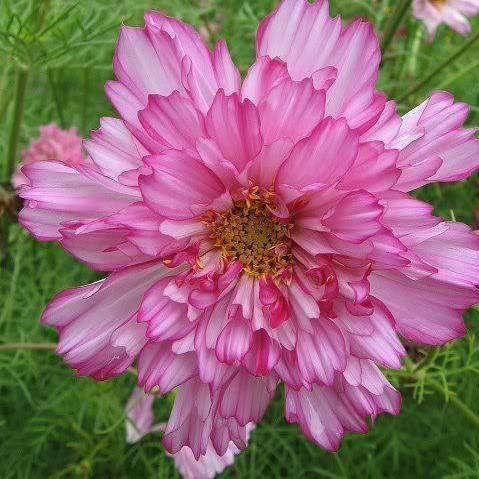 Double Petals Cosmos Seeds, Chrysanthemum Seeds, 100pcs/pack
