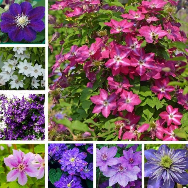 Mix Clematis Hybridas Seeds, Multi-Varieties Clematis Seeds, 100pcs/pack