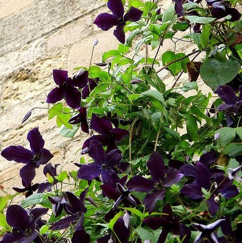 Clematis Plant Seeds,  100pcs/pack