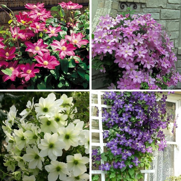 Mutil-Color Rare Clematis Seeds, 100pcs/pack