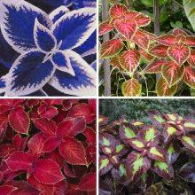 100 Pcs/Lot Coleus seeds DIY home garden