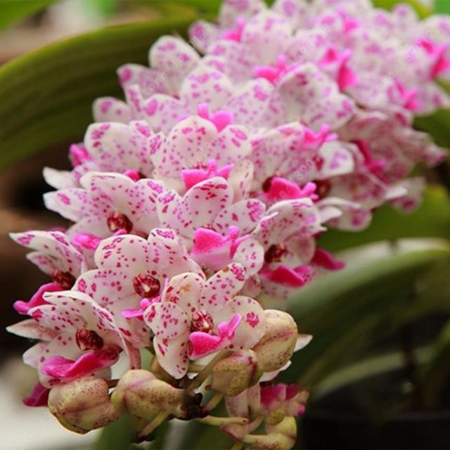 White Pink Cymbidium Faberi Seeds, Orchid Seeds, 100pcs/pack