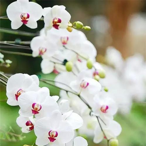 White Cymbidium Faberi Seeds, Cymbidium Orchid, 100pcs/pack