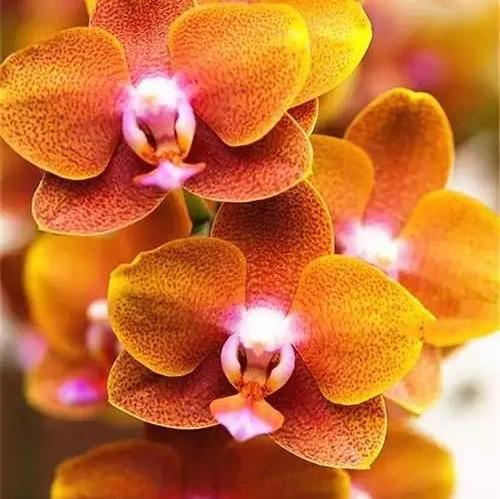 Cymbidium Orchid, Cymbidium Seeds, 100pcs/pack