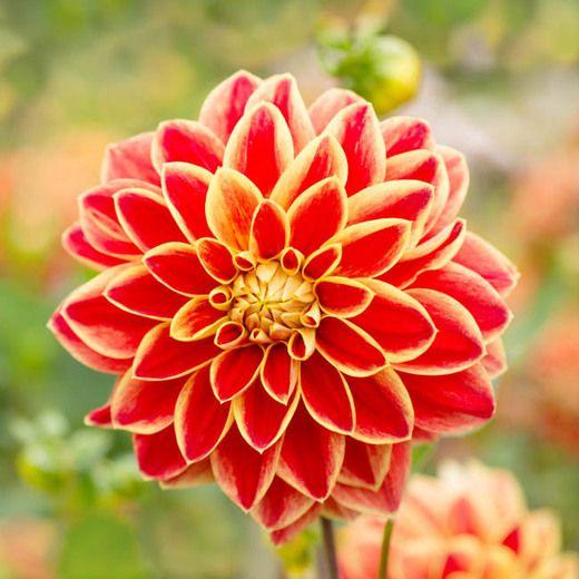 Multi-Colored Dahlia Seeds, Charming Bonsai Dahlia Flower Seeds, 100pcs/pack