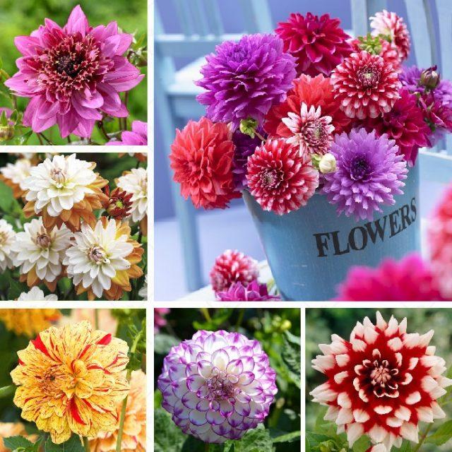 80 Colors Dahlia Seeds,100pcs/pack