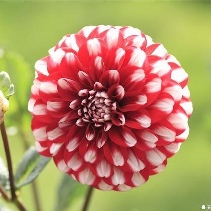 Multi-Color Options Dahlia Seeds, 80 Colors, 100pcs/pack