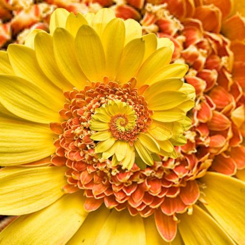 Miracle Daisy Seeds, 30pcs/pack