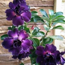 Rare Black Purple Desert Rose Seeds, Adenium Obesum Seed, 5pcs/pack