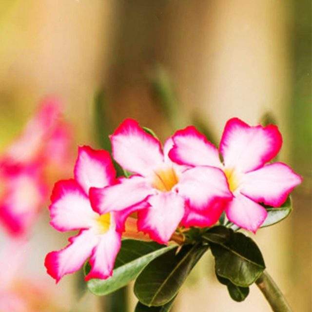 Multi-Varieties Desert Rose Flower Seeds, Adenium obesum Seeds, 5pcs/pack