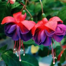 100pcs/bag Fuchsia seeds, Lantern flower,bonsai begonia flower seeds potted plant for home garden