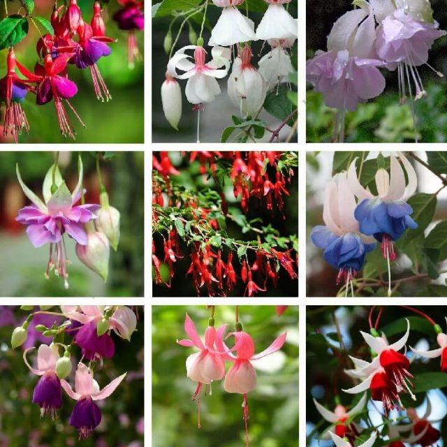 Multi-Varieties Fuchsia Seeds, 100pcs/pack