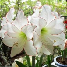 1 pcs Bulb/pack, True amaryllis bulbs, hippeastrum flowers bulbs