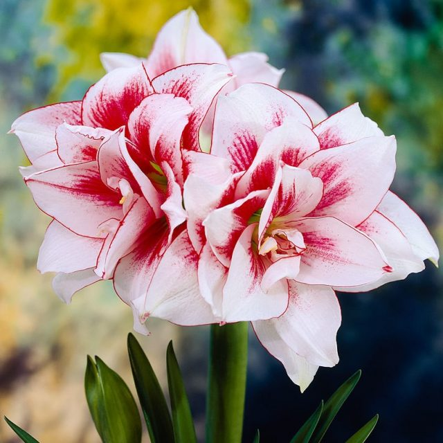 1 pcs Bulb/pack, True amaryllis bulbs, hippeastrum flowers bulbs