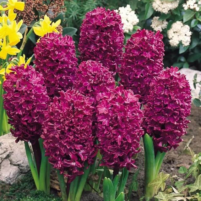 Mixed Hyacinthus Orientalis Seed, Hyacinth Seeds, 100pcs/pack