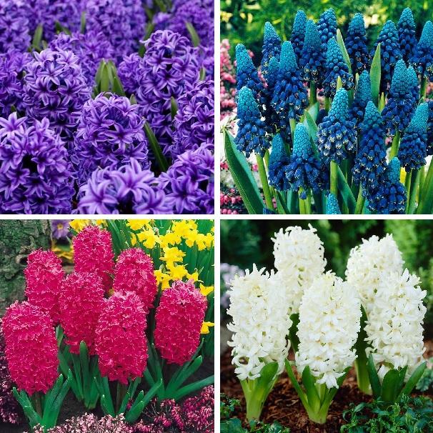 Multi-Varoeties Hyacinthus Orientalis Seed, Hyacinth Seeds, 100pcs/pack
