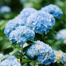 Hydrangea Seeds, Mixed color Hydrangea Seeds, 20pcs/pack