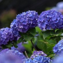 Beautiful Hydrangea Seed, Hydrangea Flower Seeds, 20pcs/pack