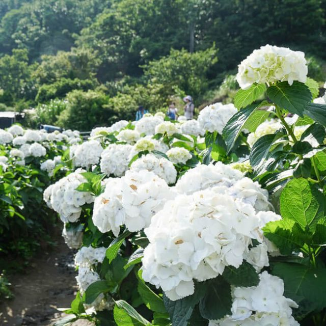 White Hydrangea Seeds, 20pcs/pack