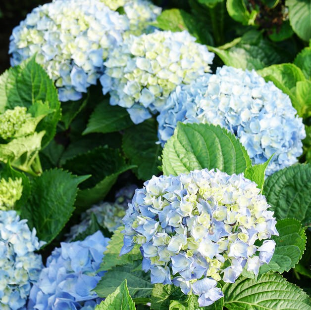 Multi Color Hydrangea Seeds, 20pcs/pack