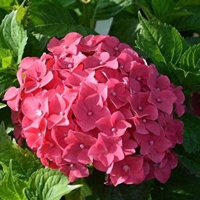Red Hydrangea Flower Seeds, 20pcs/pack