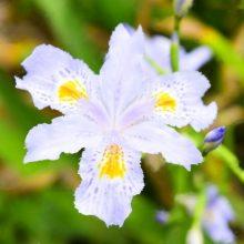 Multi-Colors Iris Seeds, 100pcs/pack