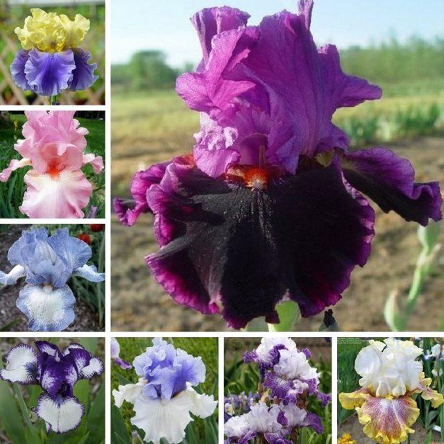 Rare Iris Seeds, 100pcs/pack