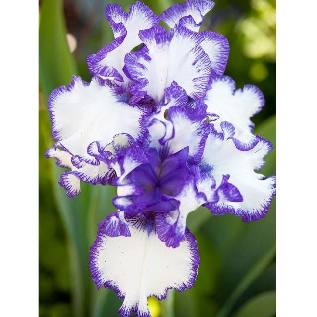 Multi-Varieties Iris Seeds, 100pcs/pack