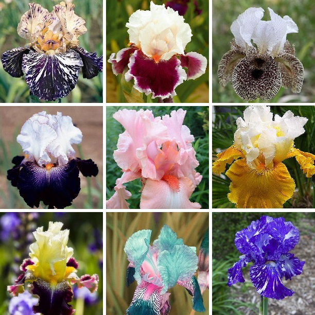 Multi-Colors Iris Seeds, 100pcs/pack