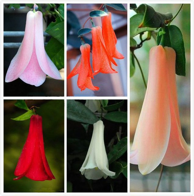 Chilean Bellflower Seeds, Lapageria Rosea Seeds, 50pcs/pack
