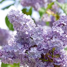 Lilac Flower Seeds, 100pcs/pack